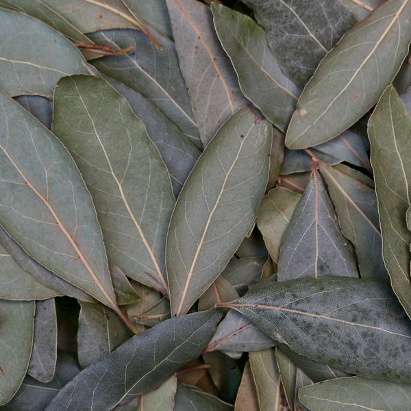 laurier noble plante sèche